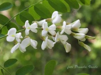 Padurea Dumbravita - flori de salcam
